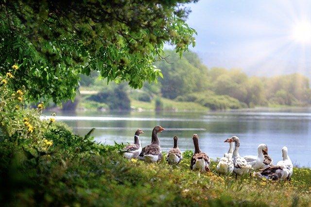 husy u rybníka