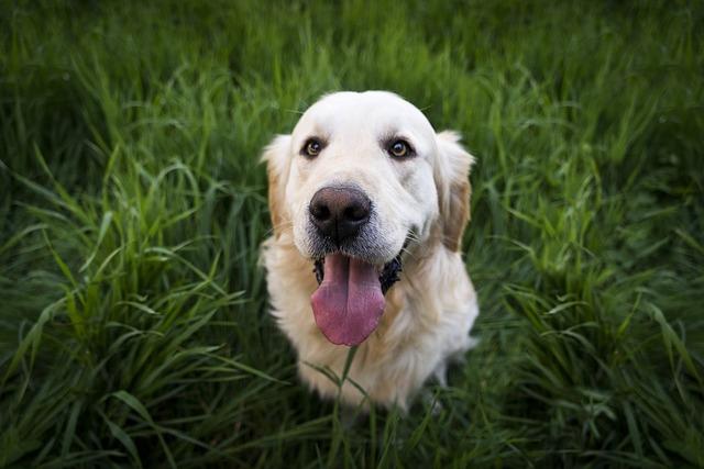 zlatý retrívr v trávě
